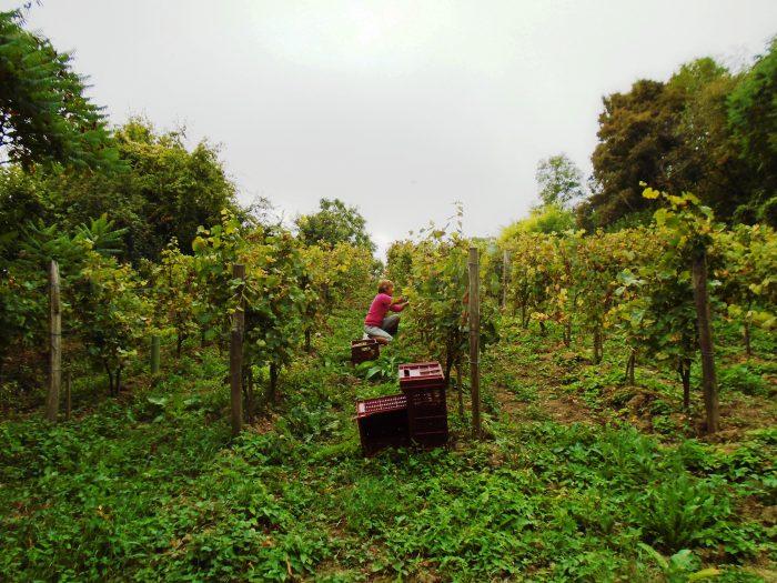 Vignes de Benoit Savigny à Trôo